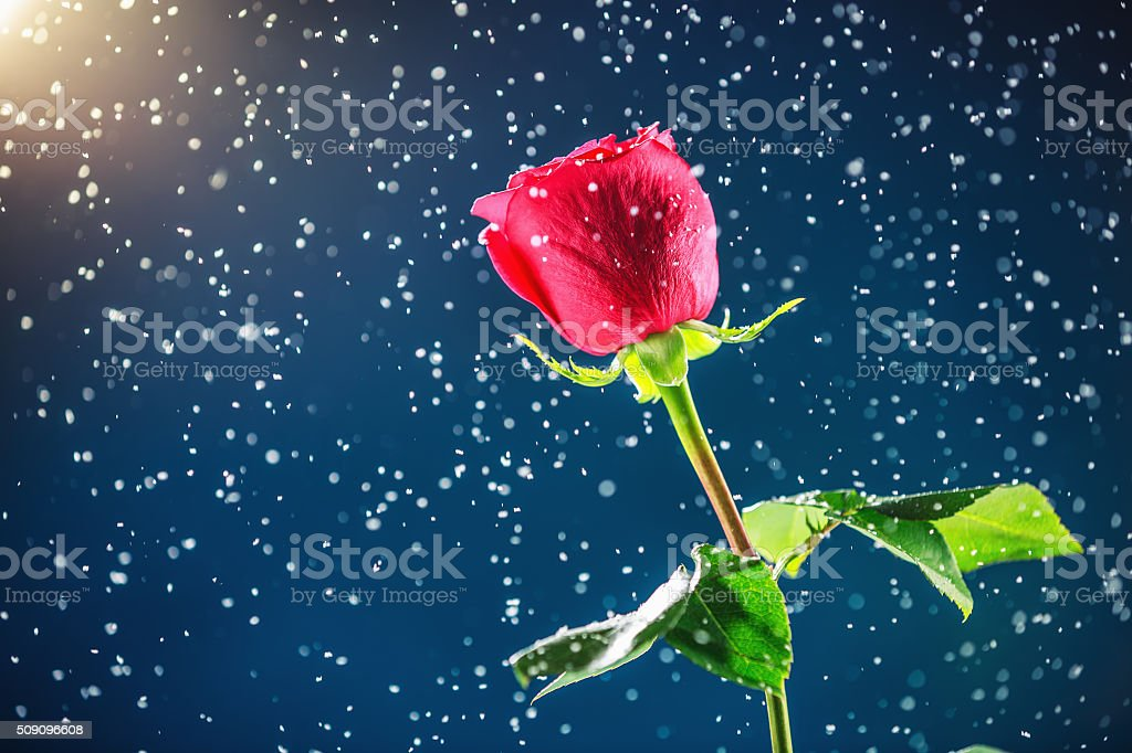Red rose on snow background stock photo