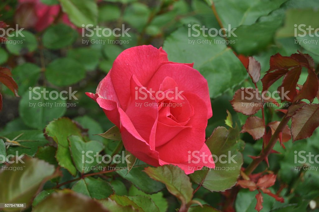 Red Rose on the Branch in the Garden stock photo
