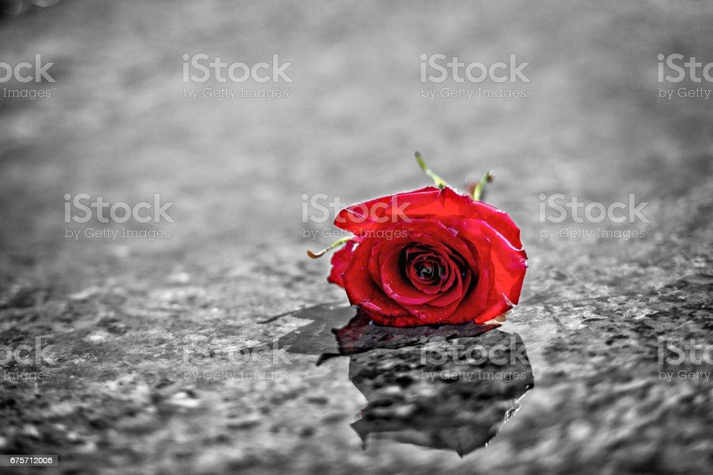 紅玫瑰的濕的大理石地板上。 免版稅 stock photo