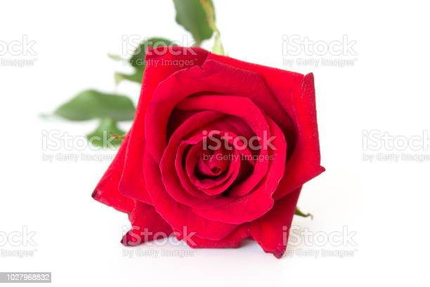 Red rose on white background picture id1027968832?b=1&k=6&m=1027968832&s=612x612&h=rrk wc67immgblv7g1xn6kslwu 9yskiz mhrsq6h1g=