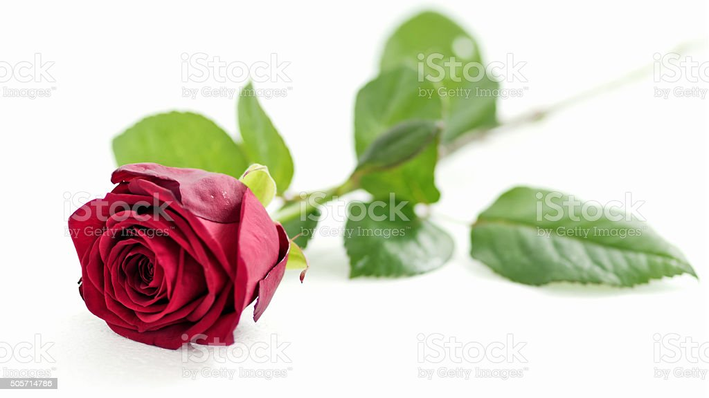 red rose on white background, shallow depth of field stock photo