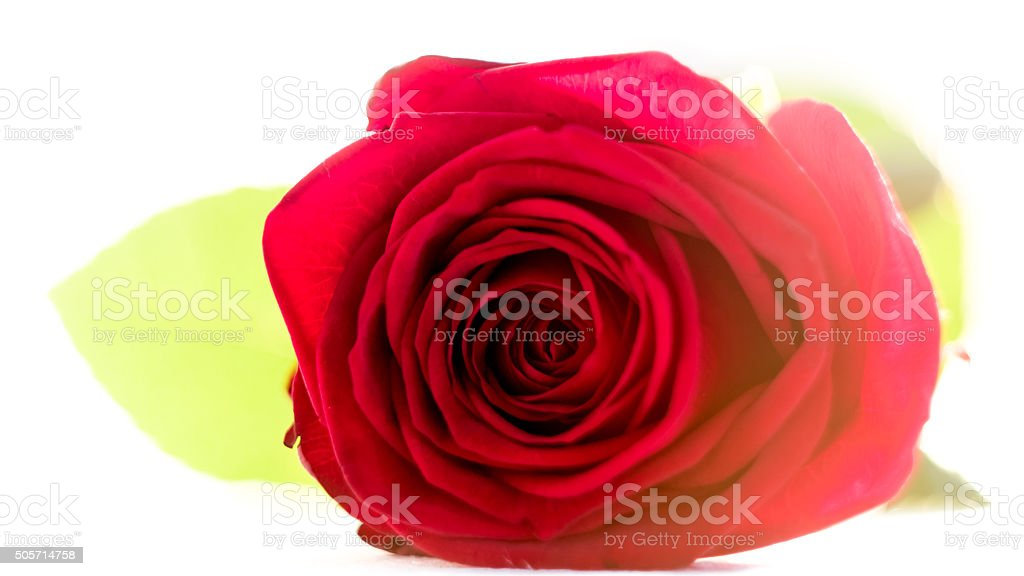 Red rose on white background with artistic blooming lens flare stock photo
