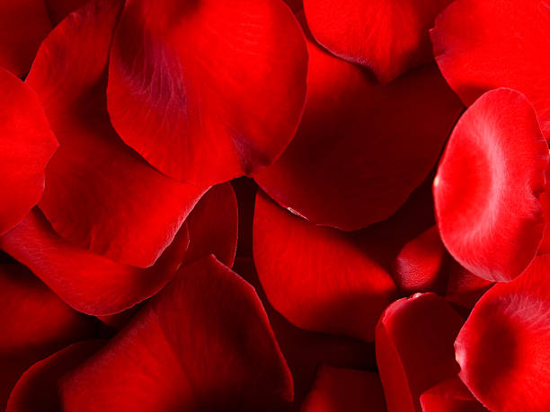 red rose petal - xxmmxx stock photos and pictures