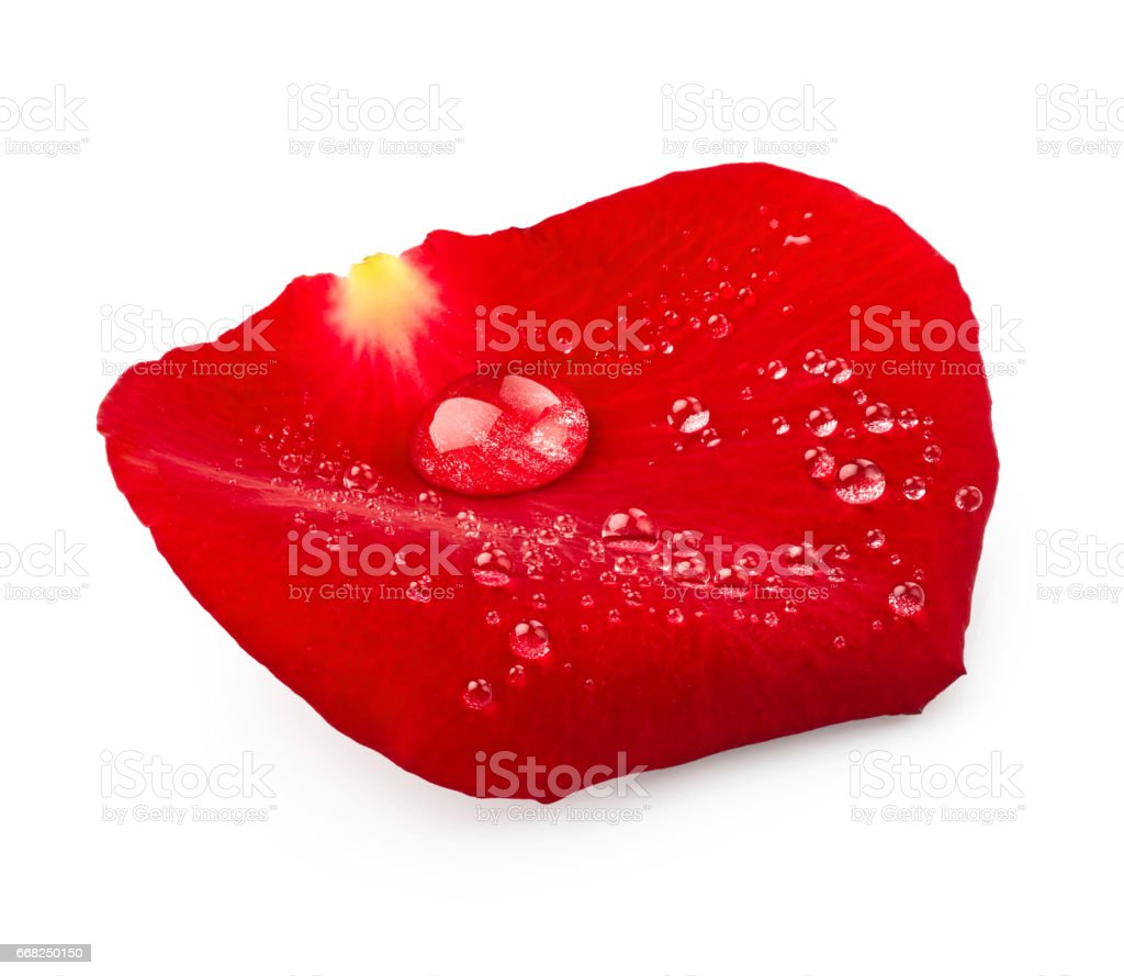 Red rose petal with drops of water foto stock royalty-free