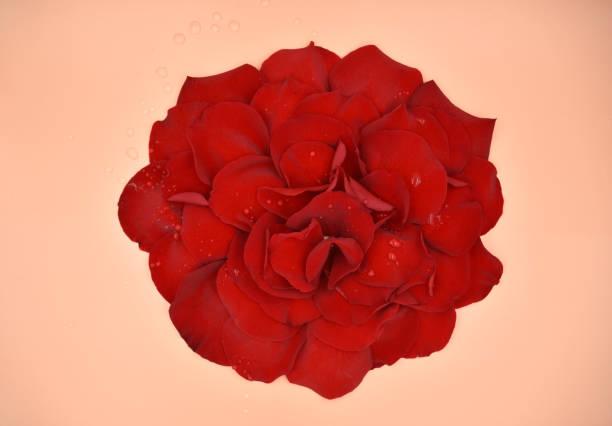 Red rose petals assembled in a big flower with water drops as a dew picture id1135920779?b=1&k=6&m=1135920779&s=612x612&w=0&h=eluba6luu8ewfeua8a3z2dibzsvhexdqgf1y647siu0=