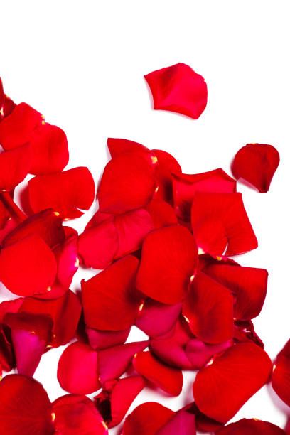 Red rose petals fall isolated on white background valentine or picture id656339982?b=1&k=6&m=656339982&s=612x612&w=0&h=rnwcavqojckf7iq738dhyu4b8sq6o2ssfvg26m8oitu=