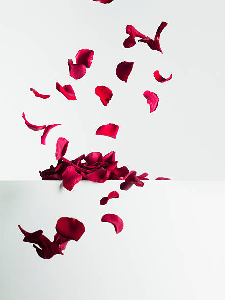 빨간 장미 꽃잎 떨어지는 - 꽃잎 뉴스 사진 이미지