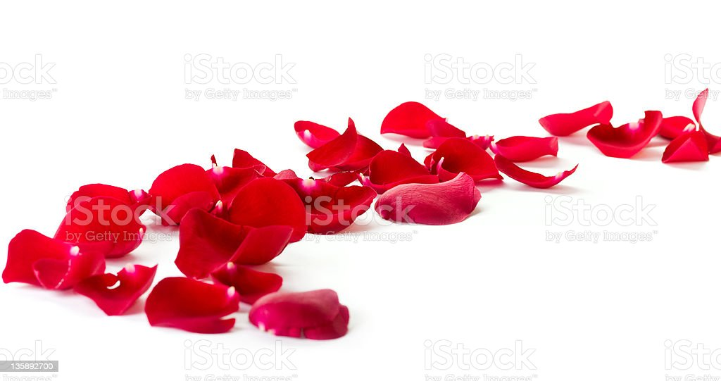 Red rose petals on the white royalty-free stock photo