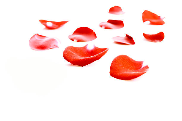 Red rose petals on white background picture id532914169?b=1&k=6&m=532914169&s=612x612&w=0&h=ohyb69dv5cmou09zki0iu2zjxsi9eil7sucfnjypzhe=