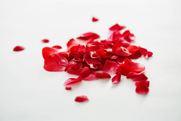 Red rose petals on white background with copy space picture id1254858707?b=1&k=6&m=1254858707&s=612x612&w=0&h=9jhdlzspenok2zhbqk 6m1v0cyw0vnnwp9nrcxhijw4=