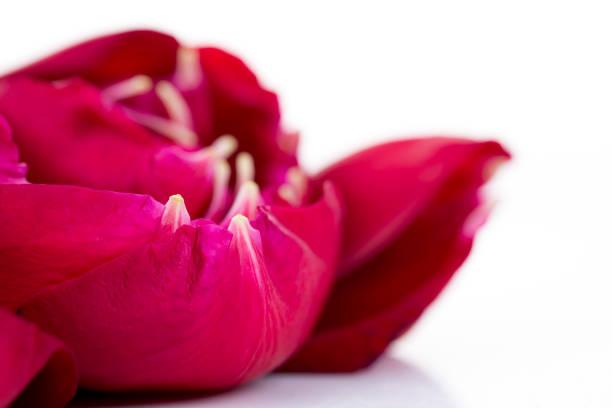 Red rose petals on white picture id669431456?b=1&k=6&m=669431456&s=612x612&w=0&h=qmfrinkyvqznlo8xhr7aevhnh2sn4bsgow5nhlwlej0=