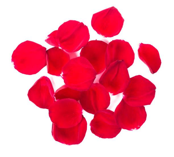 pétalos de rosa rojos sobre fondo blanco. - pedal fotografías e imágenes de stock