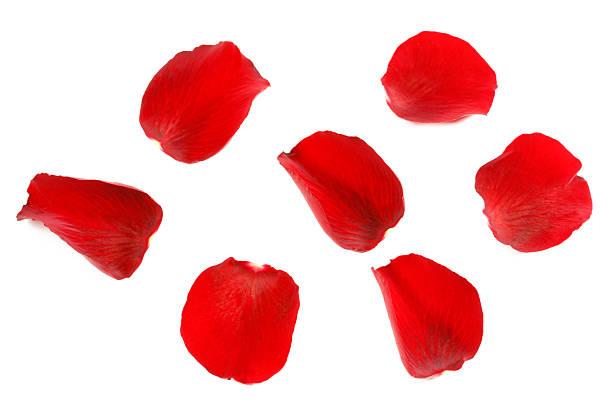 빨간 장미 꽃잎 - 꽃잎 뉴스 사진 이미지