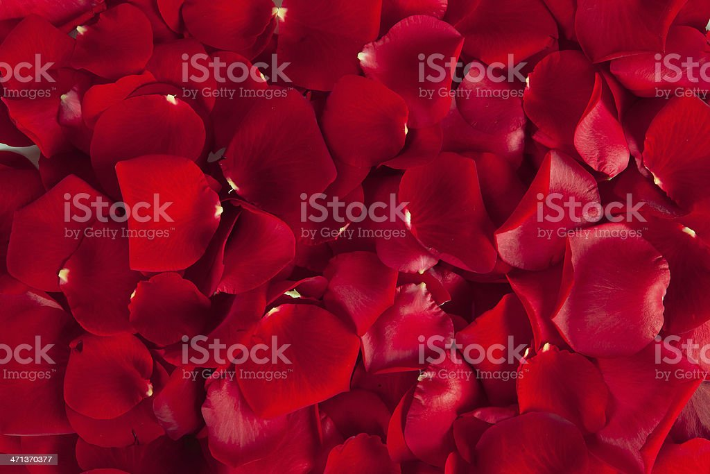 Red  rose petals stock photo