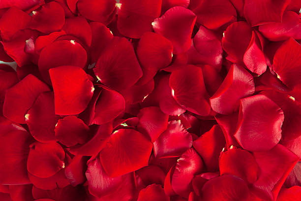 red  rose petals - rose petals stock pictures, royalty-free photos & images