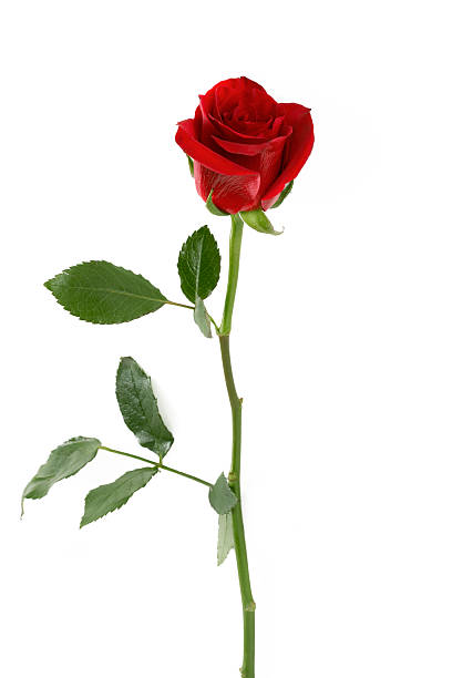 Pétalos de rosa rojas - foto de stock