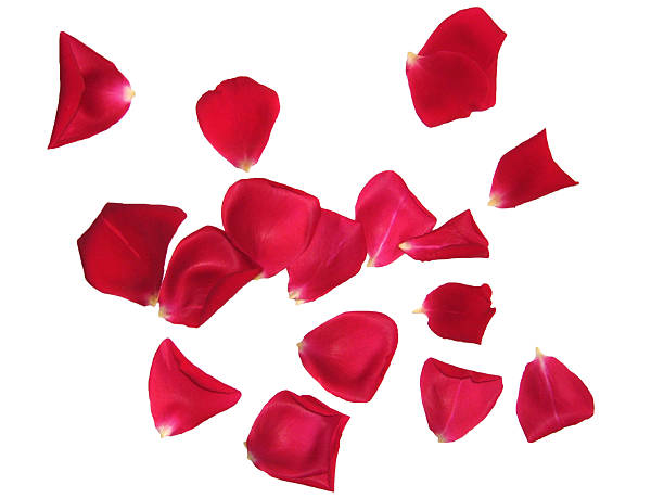 red rose petals sprinkled on white background - rose petals stock pictures, royalty-free photos & images