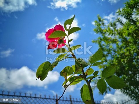 Garden rose and blue sky