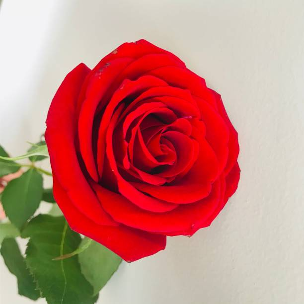 Red rose picture id1184607090?b=1&k=6&m=1184607090&s=612x612&w=0&h=uqdxs0yv1hobdeis7k19phexjdt1uuwmpwdv 5zva60=