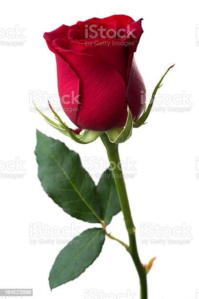 Red rose picture id164023896?b=1&k=6&m=164023896&s=612x612&h=0uys65m1vgcufdl8jw9q1wagifaa5y 5rqsyfpglxbk=