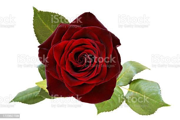 Red rose picture id172352709?b=1&k=6&m=172352709&s=612x612&h=xdea8qoxw f6n9lyvdfl81zaeux3eslc768y2yqy5ig=