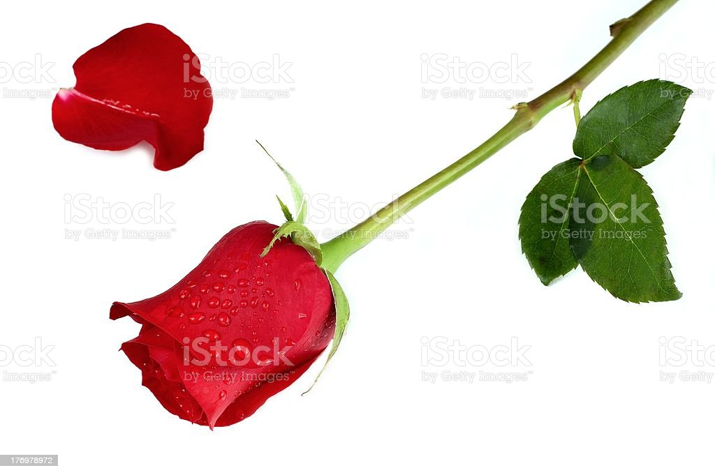 Red rose royalty-free stock photo