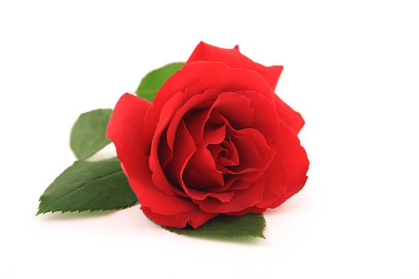 Red rose picture id183354086?b=1&k=6&m=183354086&s=612x612&w=0&h=j7fvgjdxocwb3l3hof1zq5f5y1egxxloptuyfi1azyk=
