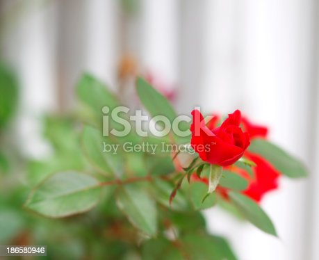 A red rose macro with a white fence in the background.