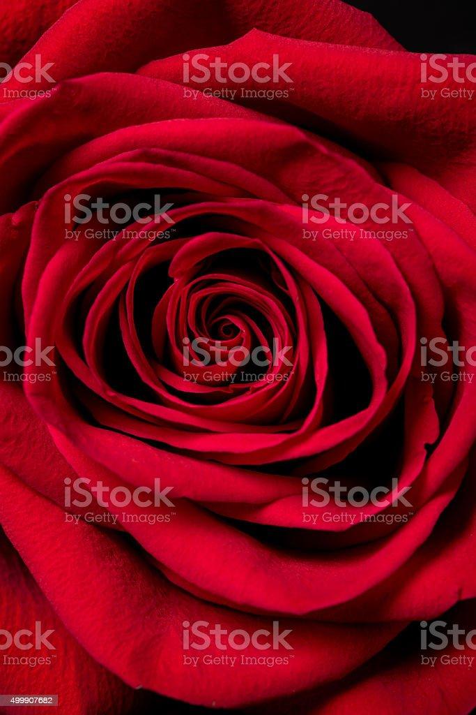 Red Rose. - foto de acervo
