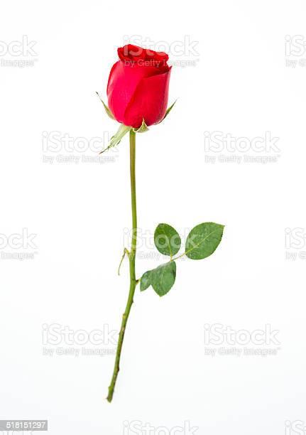 Red rose picture id518151297?b=1&k=6&m=518151297&s=612x612&h=ux6myhf 4sjgtdkiy pspxgeox9dcdfmnp uy6hq2b8=