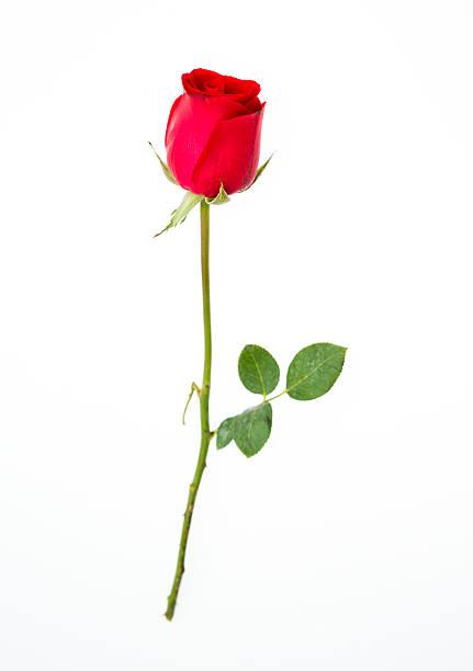 Red rose picture id518151297?b=1&k=6&m=518151297&s=612x612&w=0&h=jyof94bt 0okoyndtt pobjmkt24kwsaecxoleso6wi=