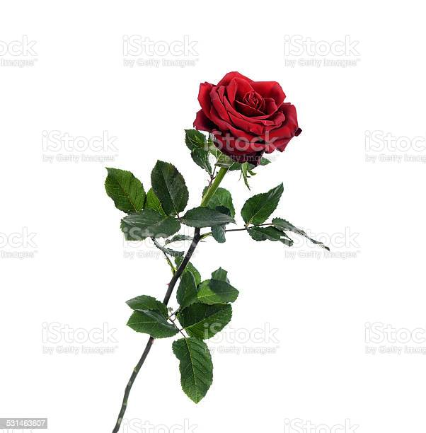 Red rose picture id531463607?b=1&k=6&m=531463607&s=612x612&h=cspm9y74rckcvgkodh3epruecreedauhsblridsacuk=