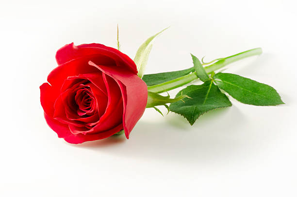 Single Red Rose Flower Stock Images: Royalty Free Single Rose Pictures, Images And Stock Photos