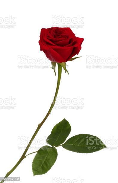 Red rose picture id682247228?b=1&k=6&m=682247228&s=612x612&h=wz dtb7jsv8oyvz5 s61gmn nhxjzxxd5moviasoypa=