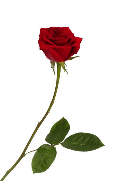 Red rose picture id682247228?b=1&k=6&m=682247228&s=612x612&w=0&h=ljc4sxjqyarnp8ru1hnj3vvar9gaioab6vmtorwlcww=