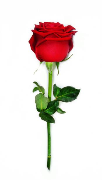 Red rose picture id685821450?b=1&k=6&m=685821450&s=612x612&w=0&h=bbk83dicqcqweuljacjbzpii8fwvgyxbvnmtsyi axq=