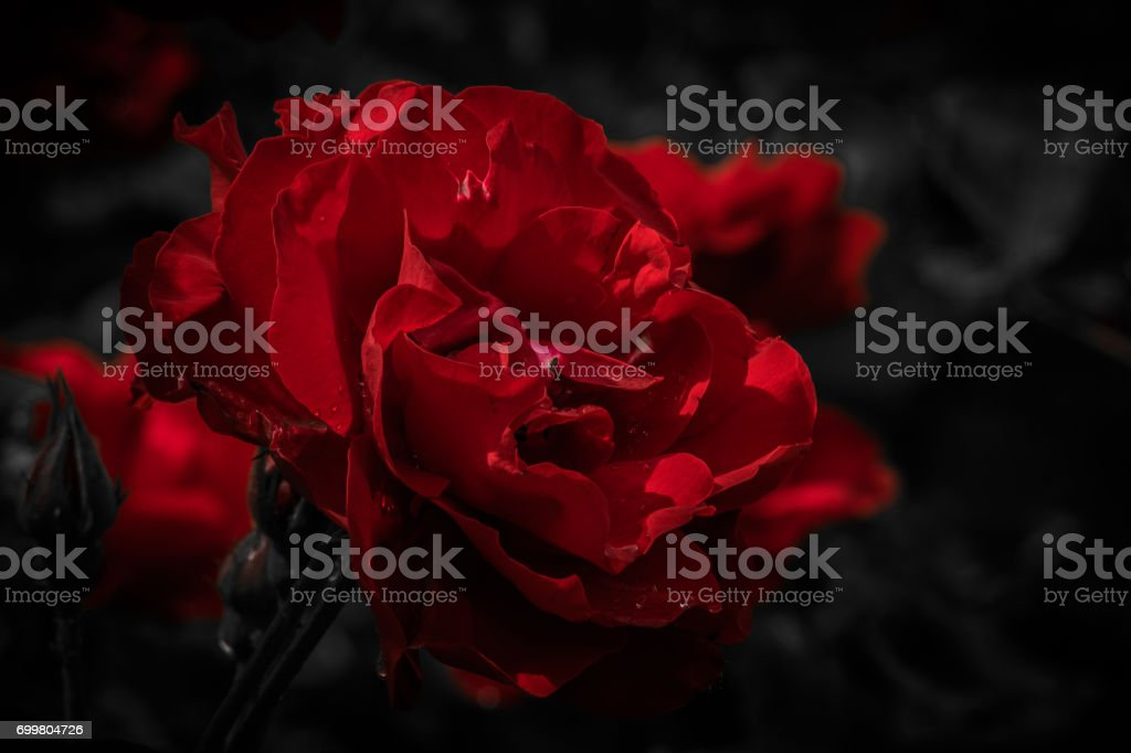 A Red rose stock photo