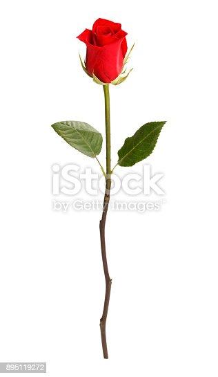 Single Rose Isolated on White Background.