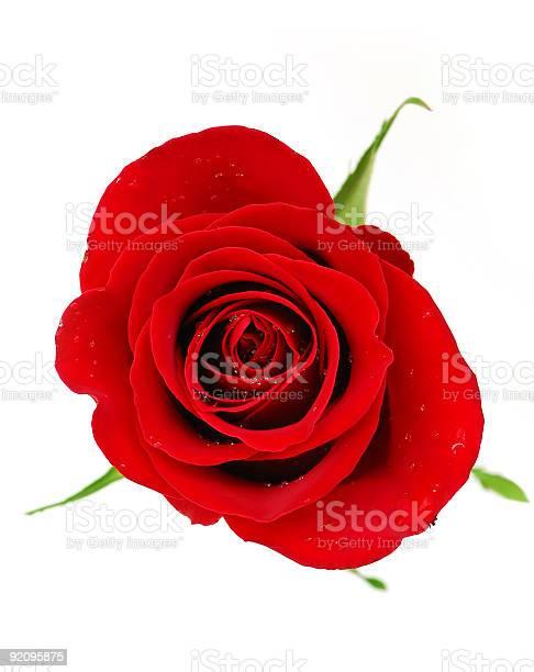 Red rose picture id92095875?b=1&k=6&m=92095875&s=612x612&h=e5eo6795jzjzme9vpghk5pq57txvxbm 4d5gbu ibmk=