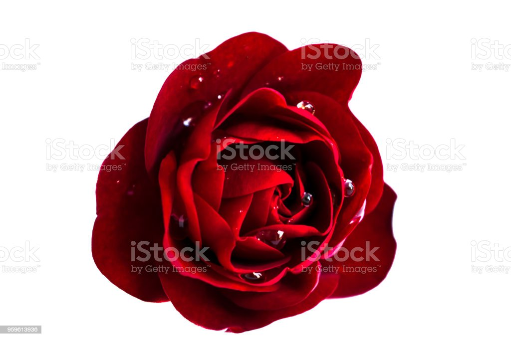 Rojas Rose - Foto de stock de Agua libre de derechos