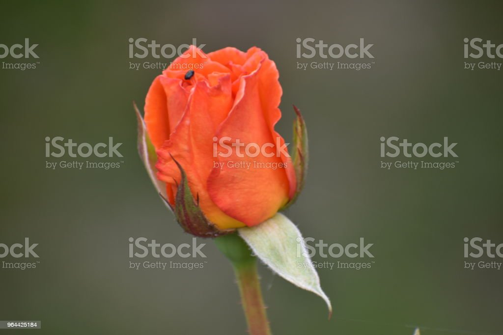 red rose - Royalty-free Anniversary Stock Photo