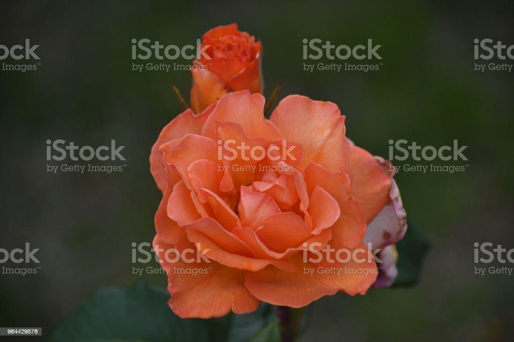 Rosa vermelhas - Foto de stock de Amor royalty-free
