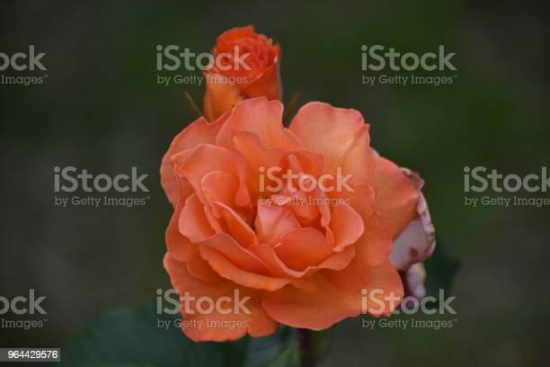 Foto de Rosa Vermelhas e mais fotos de stock de Amor