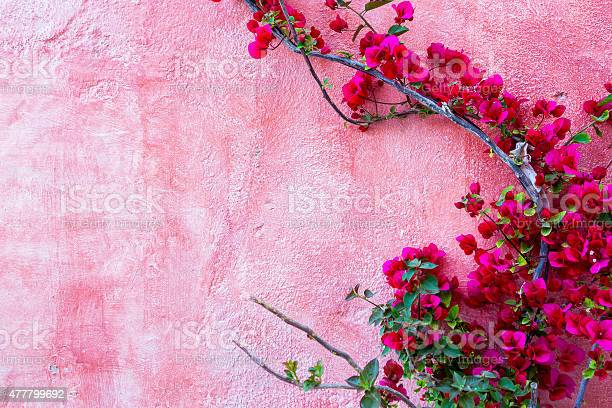 Red rose plant against pink wall background picture id477799692?b=1&k=6&m=477799692&s=612x612&h=aln5id06397o19tv qlpcjbfo4kk h6l3rcs5j8l8sq=