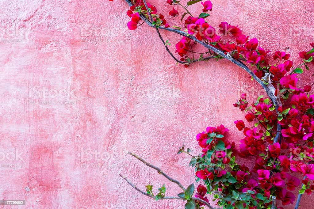 red rose plant against pink wall background stock photo