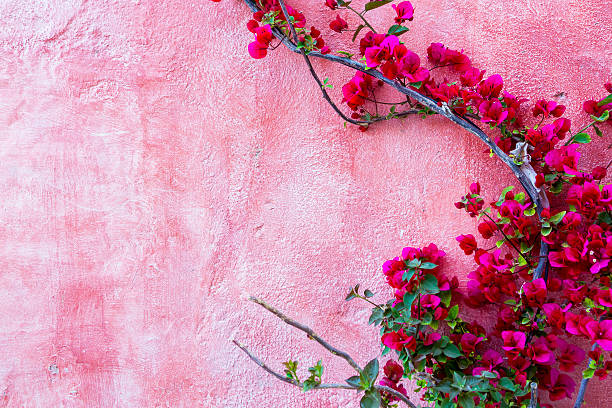 red rose plant against pink wall background - bougainville stockfoto's en -beelden
