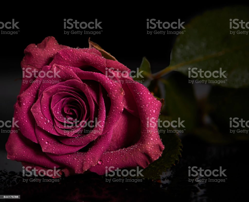 Red Rose, Rote Rose stock photo
