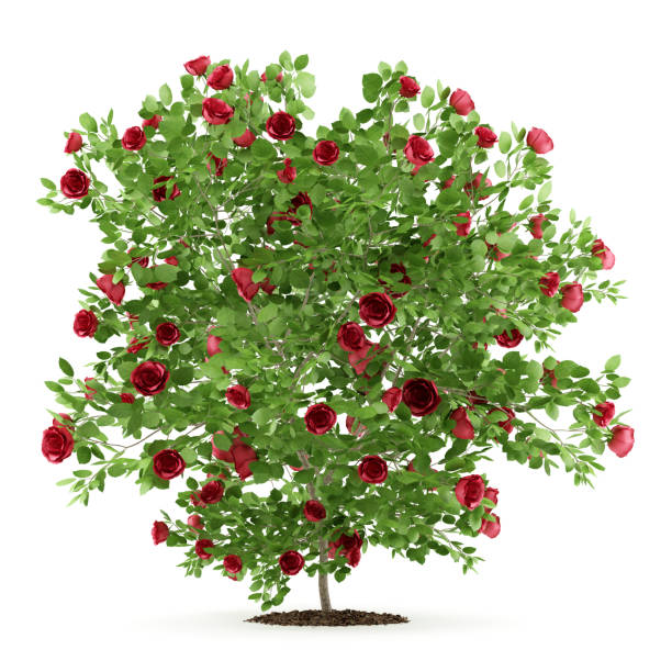 Red rose shrub plant isolated on white background 3d illustration picture id645207902?b=1&k=6&m=645207902&s=612x612&w=0&h=ycvqocyubxmlked9oj1pdkp6c3f2tkjyjloibns6hoa=