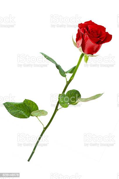 Red rose single isolated on white background picture id528446578?b=1&k=6&m=528446578&s=612x612&h=c6k edxiysy4vgolclgz y qhzf sw5llzj aa5kczy=