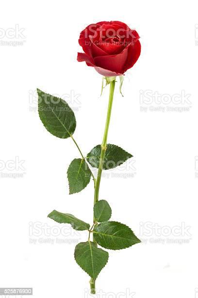 Red rose single picture id525876930?b=1&k=6&m=525876930&s=612x612&h=ek4dgkx2 16mykympqy0to20ikmxkremlp9mkbo3bui=